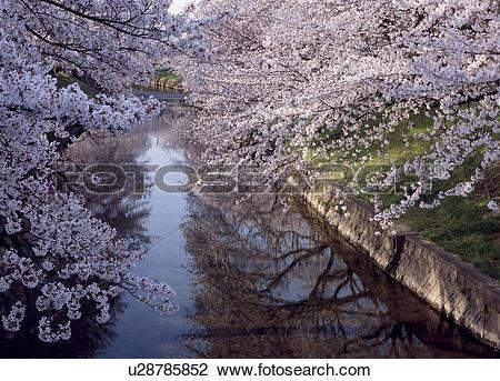 Stock Photo of Cherry Blossoms and Gojo River, Iwakura, Aichi.