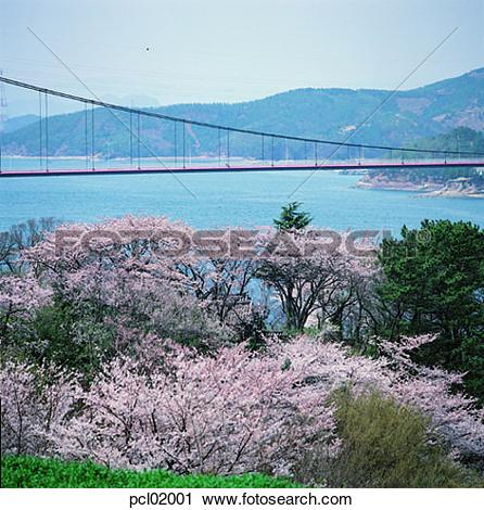Stock Photography of cherry blossom, flower, tree, plant, river.