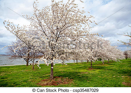 Stock Photo of Cherry Blossoms on Field by River.