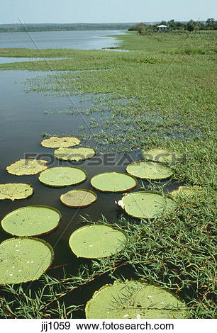 Stock Photograph of Giant water lilies growing in lakes on the.