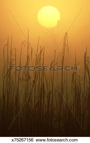 Stock Images of sunset over the reeds in the brazos river flood.