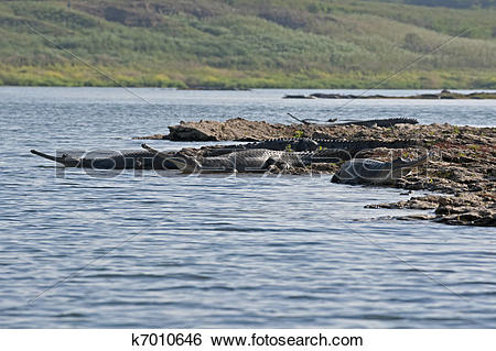 Stock Images of Wild Charial alligators on shore of Chambal River.