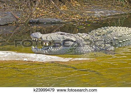 Stock Photograph of Indian crocodile k23999479.