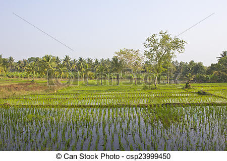 Stock Images of Rice field and banana plantation close to river.