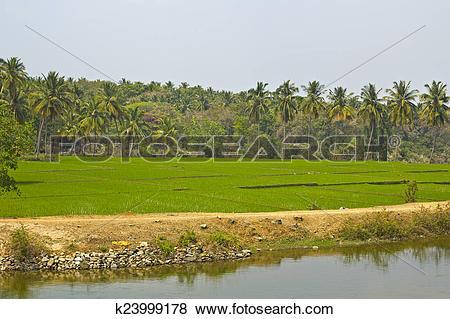 Pictures of Rice fields in Karnataka k23999178.