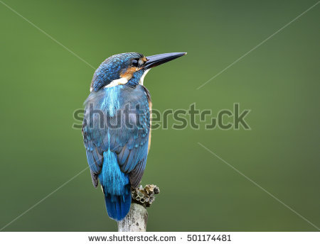 River Kingfisher Stock Photos, Royalty.