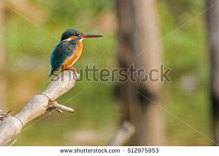 Kingfishers Stock Photos, Royalty.