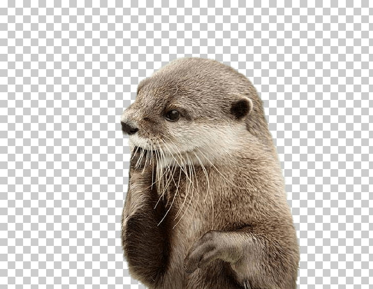 Sea otter North American river otter Beaver Dog, beaver PNG.