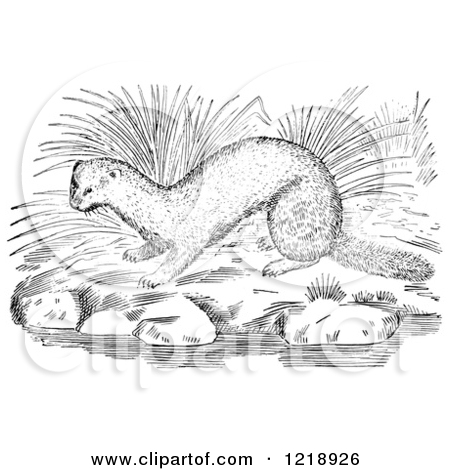 Clipart of a Black and White Mink on River Rocks.