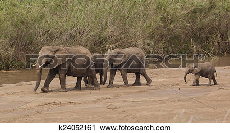 Stock Photography of Elephant family on a river sand bar k24052161.