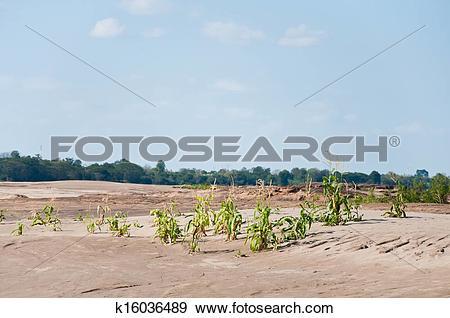 Stock Photograph of Corn farm in the Khong river sand at Sam Pan.