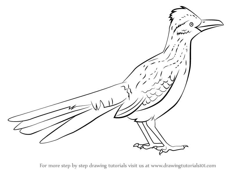 Learn How to Draw a Greater Roadrunner (Birds) Step by Step.
