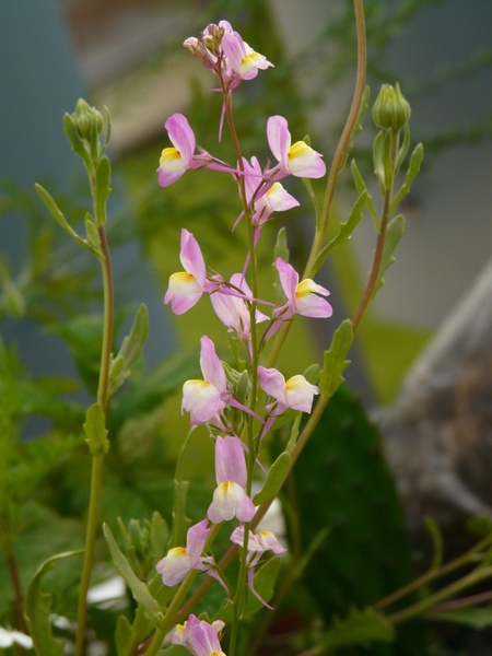 Summer toadflax roadside toadflax flowers Free stock photos in.