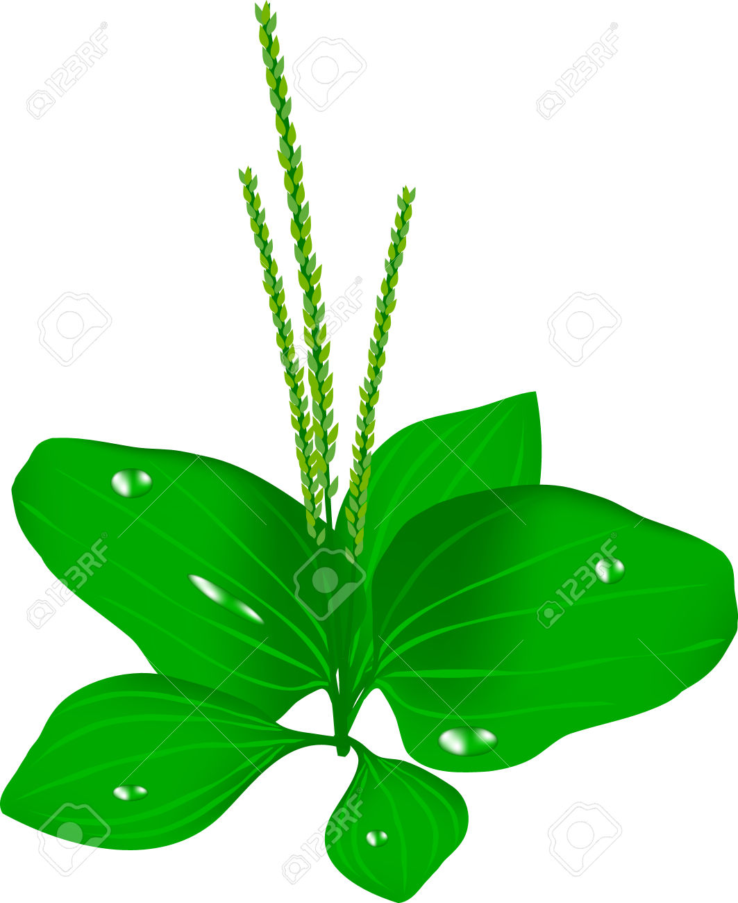 Great Plantain, Plantain Green, A Herb, A Weed Garden, A Greens.