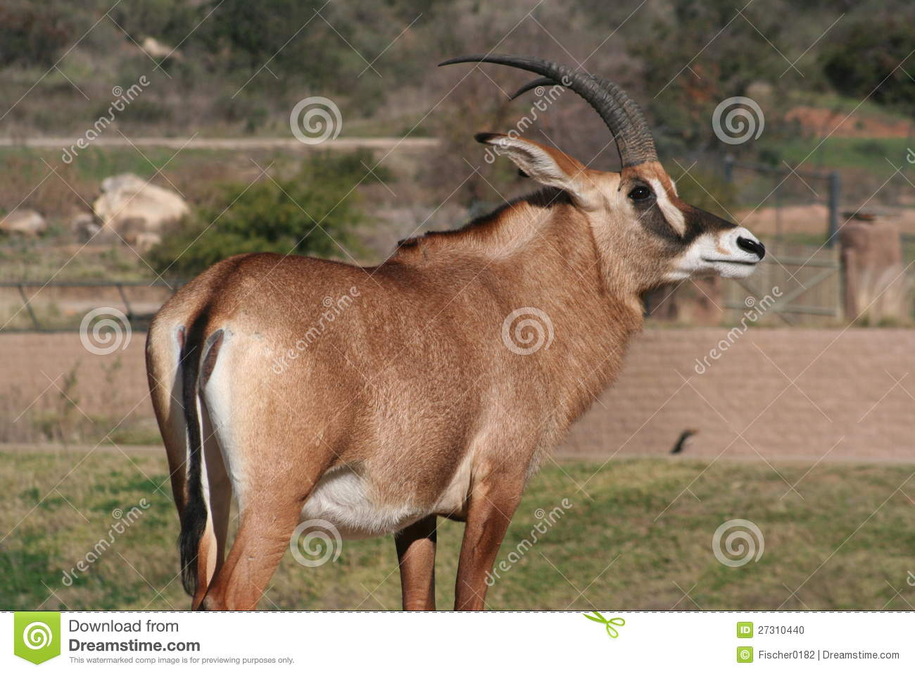 Angolan Roan Antelope (Hippotragus Equinus Cottoni Stock Photo.