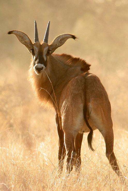 Roan Antelope.