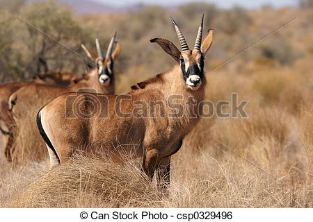 Stock Image of Roan antelopes, endangered species, southern Africa.