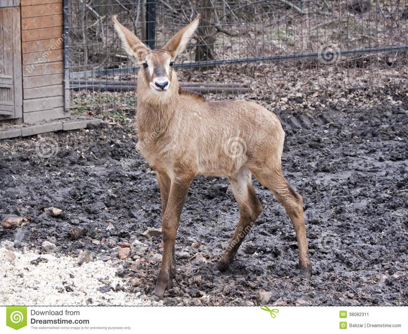 Roan Antelope Baby Stock Image.