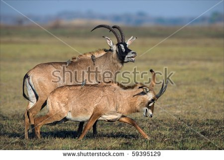 Roan Antelope Stock Photos, Royalty.