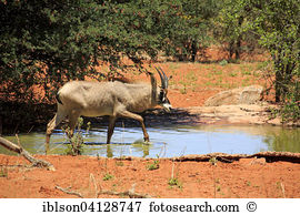 Roan antelope Stock Photos and Images. 77 roan antelope pictures.
