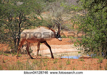 Stock Images of Roan Antelope (Hippotragus equinus), adult, Tswalu.