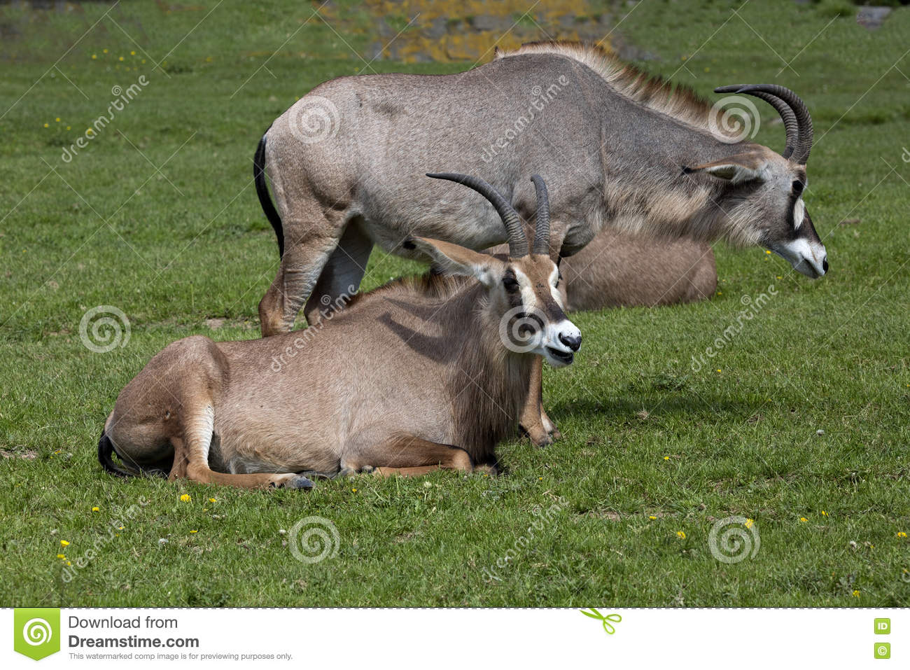 Roan Antelope, Hippotragus Equinus Is A Large Antelope Stock Photo.
