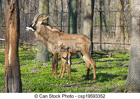 Stock Images of Roan antelopes.