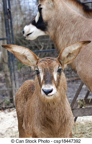 Stock Photographs of Roan antelope baby.