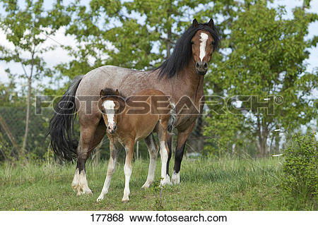 Pictures of Welsh Pony (Section B). Strawberry roan mare with foal.