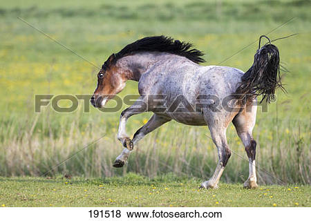 Pictures of Welsh Mountain Pony. Juvenile strawberry roan mare.
