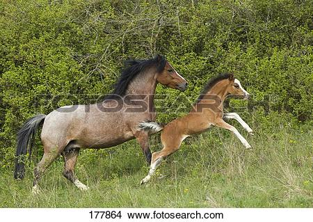 Stock Photo of Welsh Pony (Section B). Strawberry roan mare with.