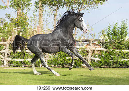 Stock Photograph of Barb Horse. Blue roan stallion galloping on a.