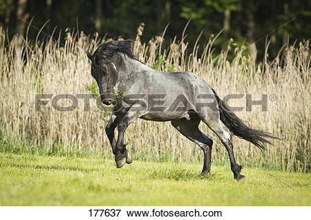 Picture of Murgese Horse Blue roan stallion bucking on a pasture.