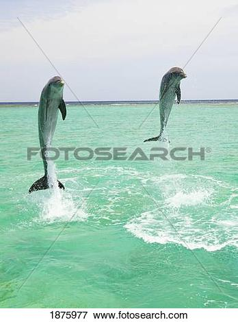 Picture of Roatan, Bay Islands, Honduras; Two Bottlenose Dolphins.