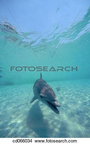 Stock Photo of Bottlenose Dolphin (Tursiops truncatus). Anthony's.