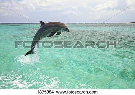 Stock Photo of Roatan, Bay Islands, Honduras; A Bottlenose Dolphin.