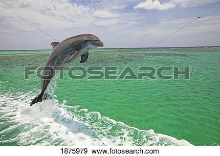 Stock Photograph of Roatan, Bay Islands, Honduras; A Bottlenose.