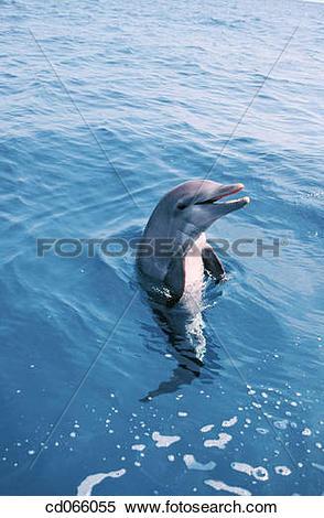 Stock Image of Bottlenose Dolphin (Tursiops truncatus). Anthony's.