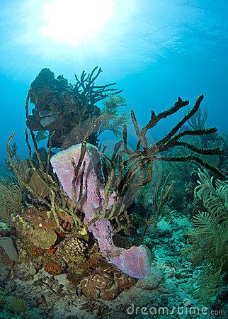 Underwater Off The Coast Of Roatan Honduras Purple Vase Sponge.