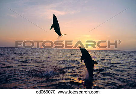 Stock Photography of Bottlenose Dolphins (Tursiops truncatus.