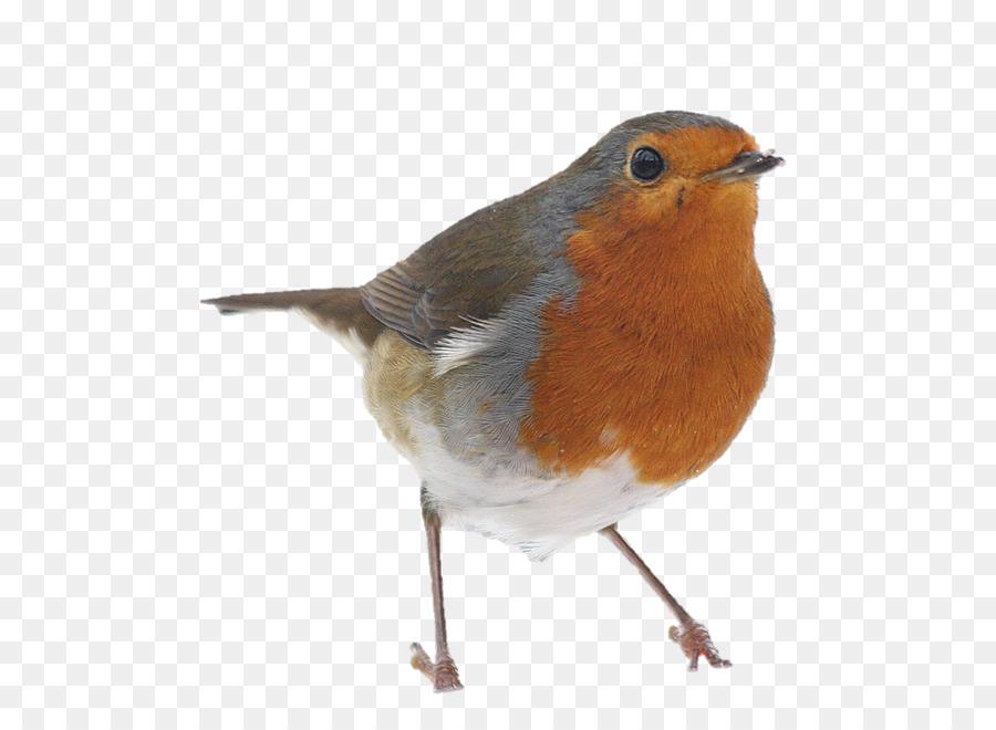 Robin Bird Png & Free Robin Bird.png Transparent Images.