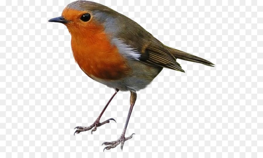 European Robin Bird American Sparrows.