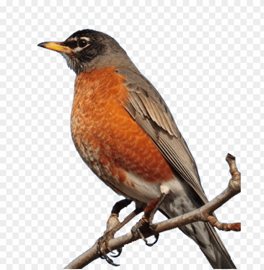 robin bird PNG image with transparent background.