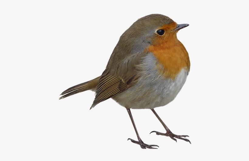 Robin Bird Png.