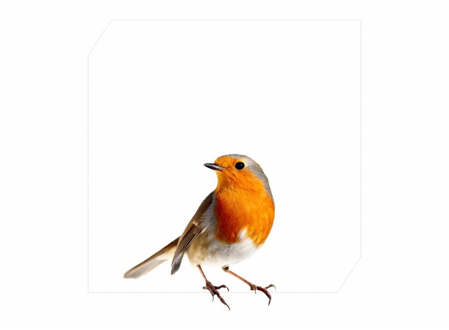 Robin Png Bird.