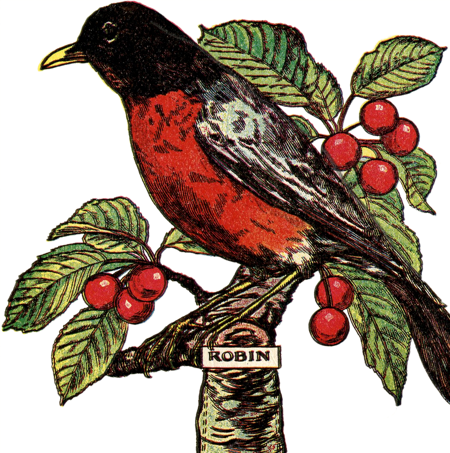 Free Robin Clip Art Image with Cherries!.