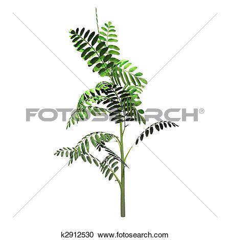 Stock Illustrations of Robinia Pseudoacacia Seedling k2912530.
