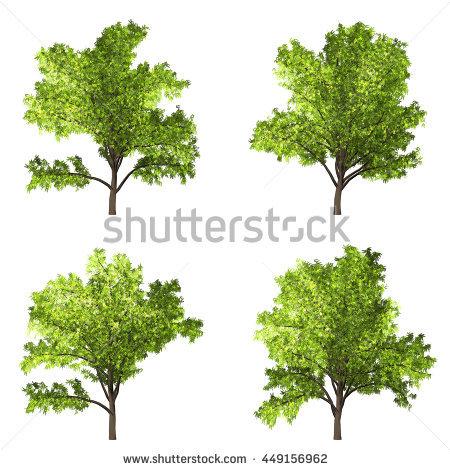 """robinia Tree"""" Stock Photos, Royalty."""
