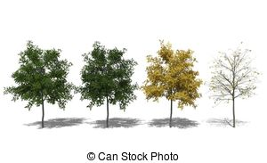 Robinia Illustrations and Stock Art. 21 Robinia illustration and.