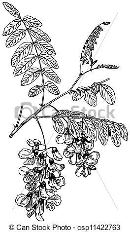 Clip Art Vector of Plant Robinia pseudoacacia.